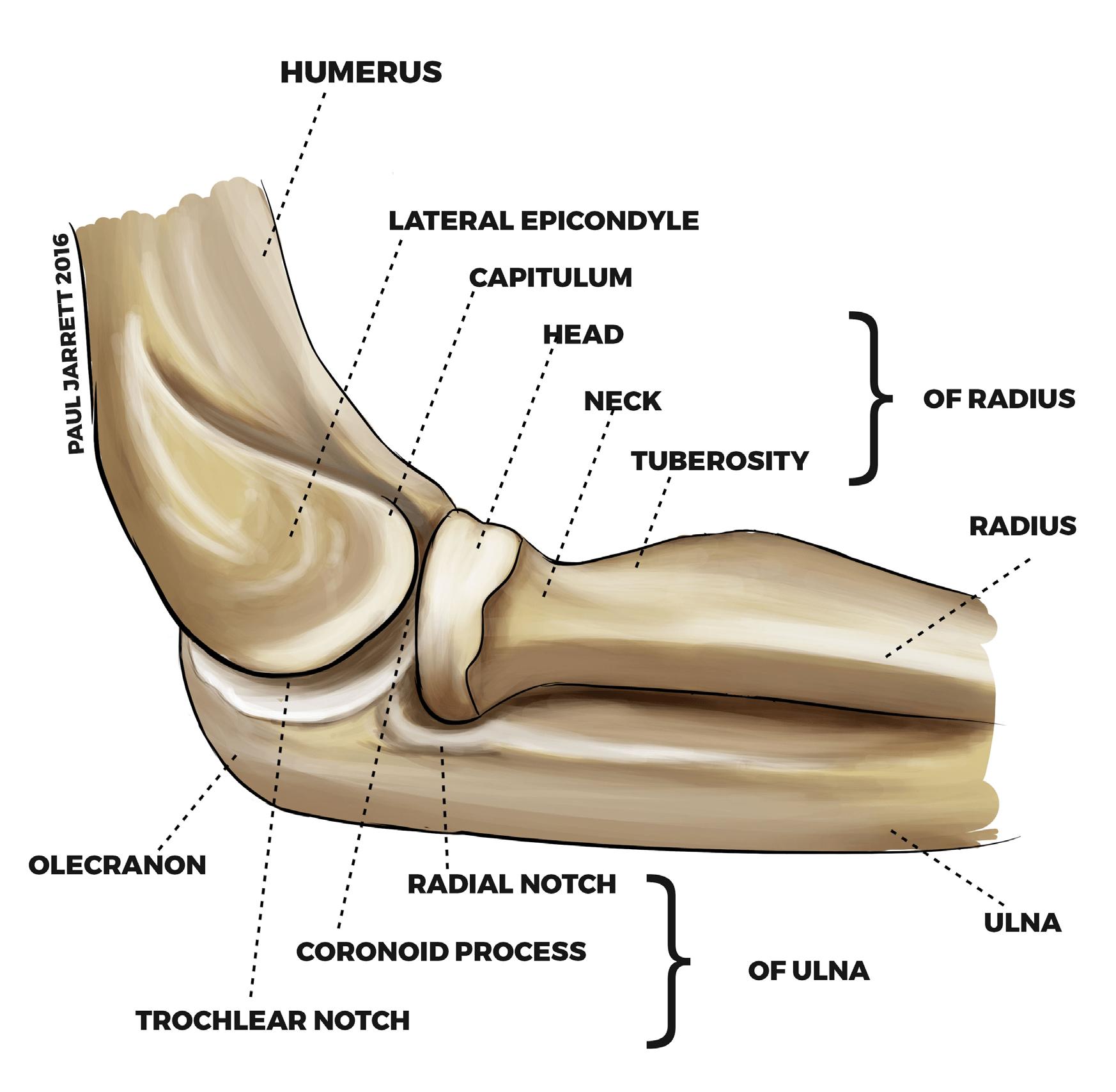Elbow Anatomy Dr Paul Jarrett Orthopaedic Surgeon Perth